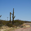 Saguaro growing in the desert along American highways, Arizona