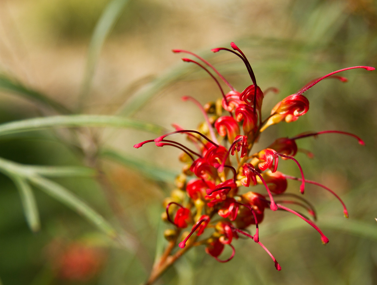 Red and yellow Grevillea