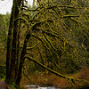 The most amazing moss covered trees in Silver Falls National Park, Oregon