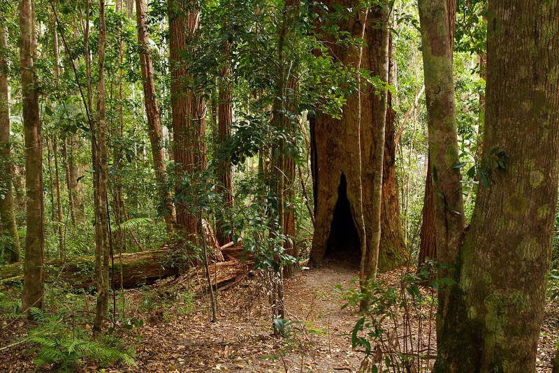 Rain forest on Fraser Island Queensland Australia