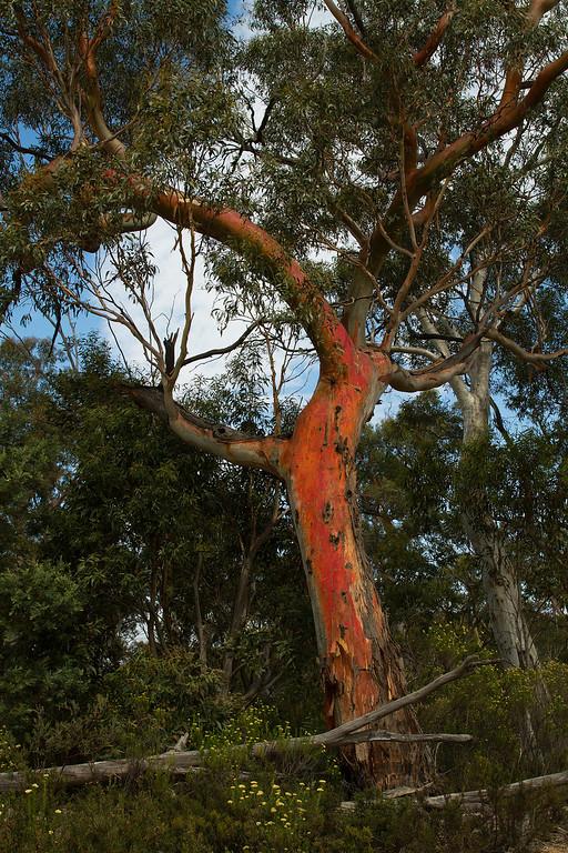 Beautiful trees at Kosciuszko, Australia