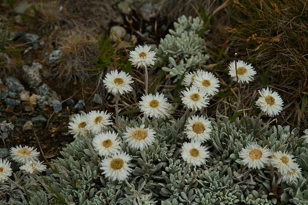 Alpine Sunray - Leucochrysum Albicans