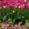 Lovely Tulips at Tulip Top Garden