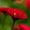 Red English Daisy