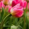 Lovely Tulip at Tulip Top Garden