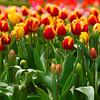 Tulip Top Garden, near Canberra