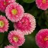 Pink English Daisies