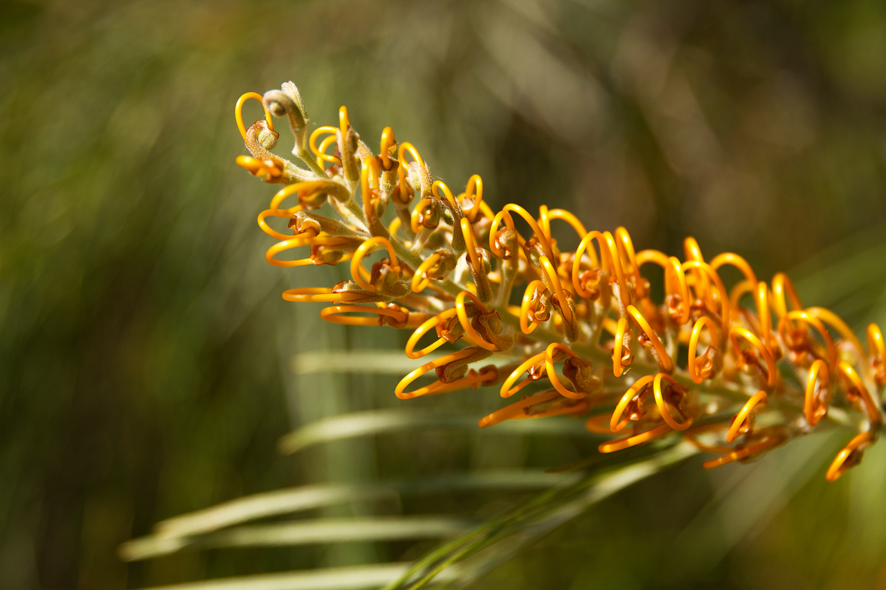 Yellow Grevillea