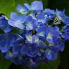 Hydranger flowers