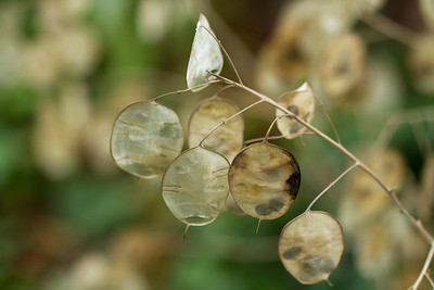 Stock flower seed