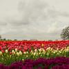 Woodburn Tulip Farm, Oregon