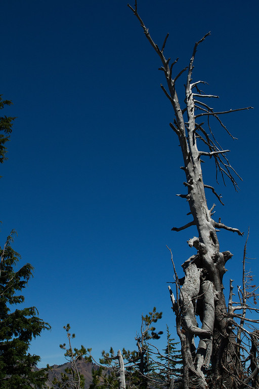 Beautiful weathered old tree at Crater Lake, Oregon