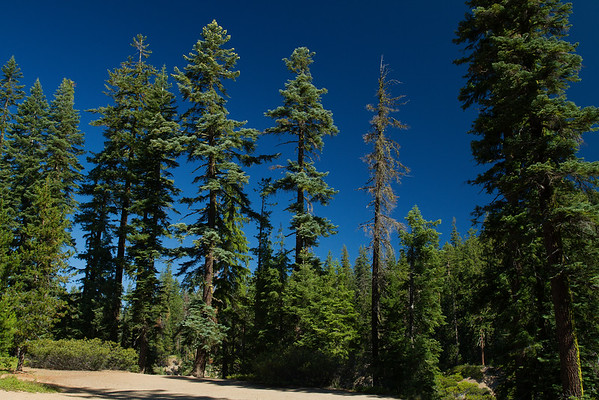 Beautiful spruce trees on the way to Crater Lake, Oregon