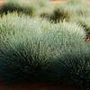 Porcupine Grass - Triodia Scariosa